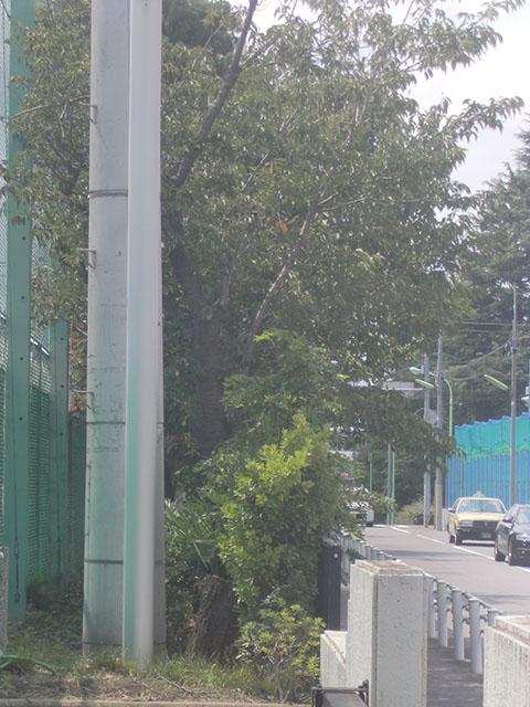 校庭北側通用口横の大島桜
